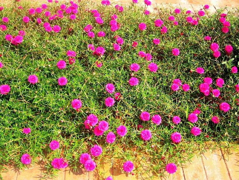 hoa mười giờ trồng trong nhà
