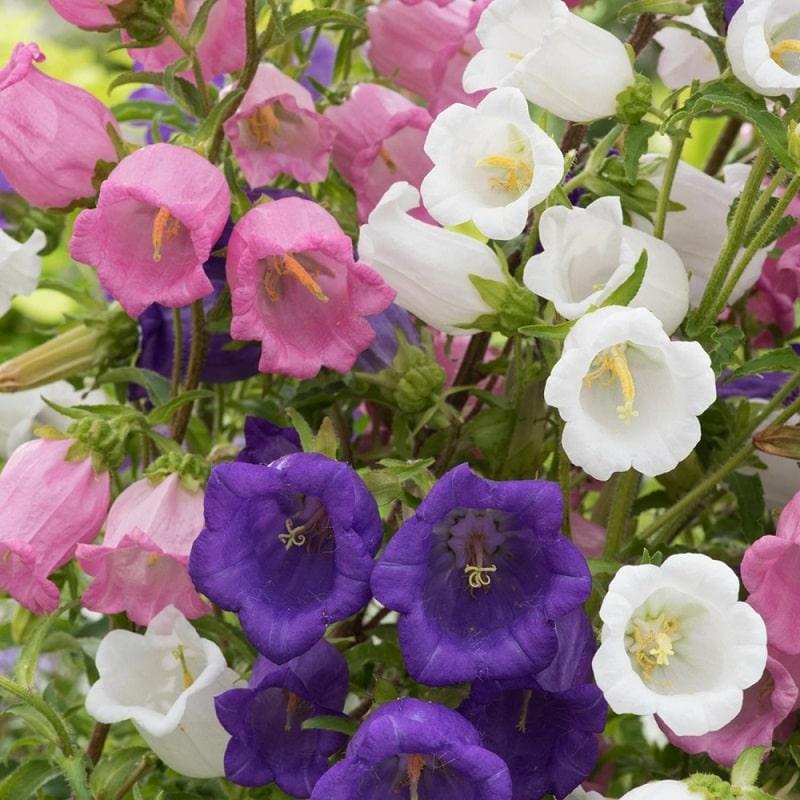 hoa chuông trồng trong nhà