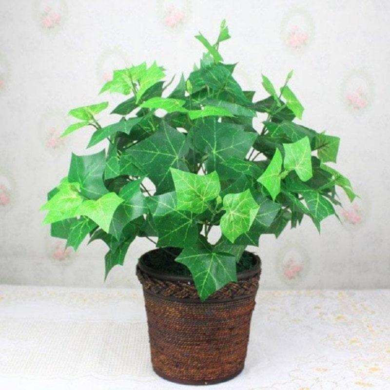 trồng cây thường xuân trong nhà