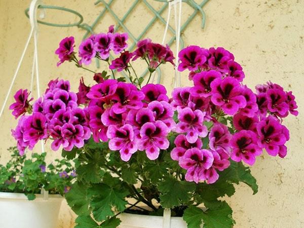 Hoa phong lữ thảo mang sắc màu rực rỡ