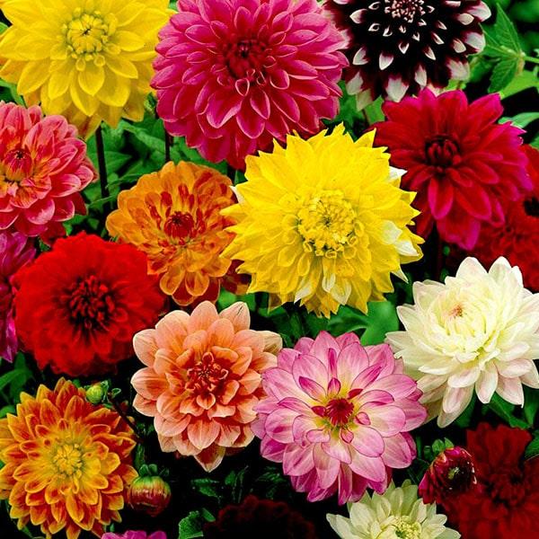 Hoa thược dược có rất nhiều màu sắc