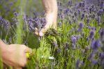 Trồng và chăm sóc hoa oải hương như thế nào đúng cách