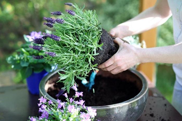 Chăm sóc hoa oải hương rất cần sự tỷ mỉ, kỳ công