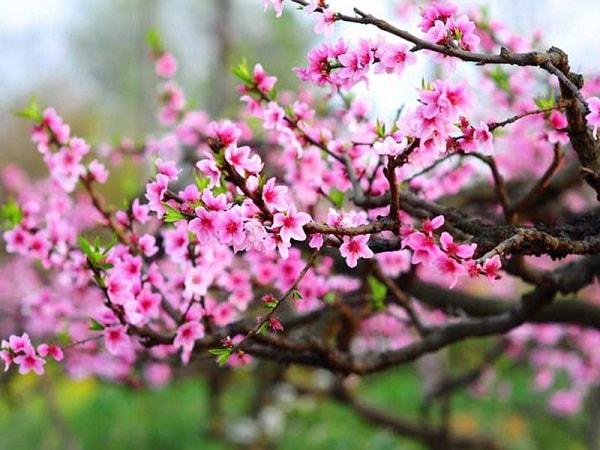 Hoa đào là biểu tượng tinh hoa của Ngũ Hành