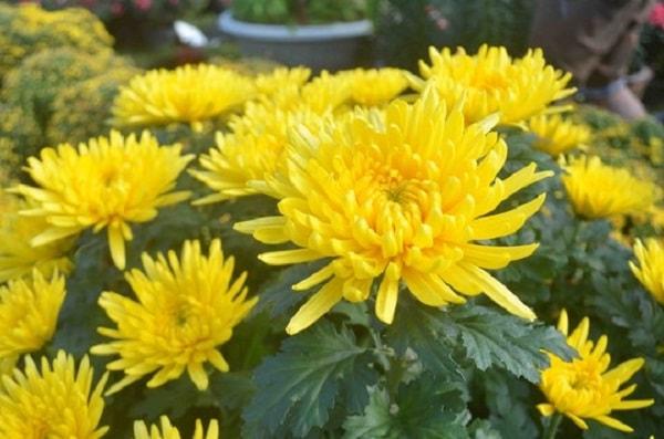 Hoa cúc biểu trưng cho sự sung túc, phúc lộc và may mắn