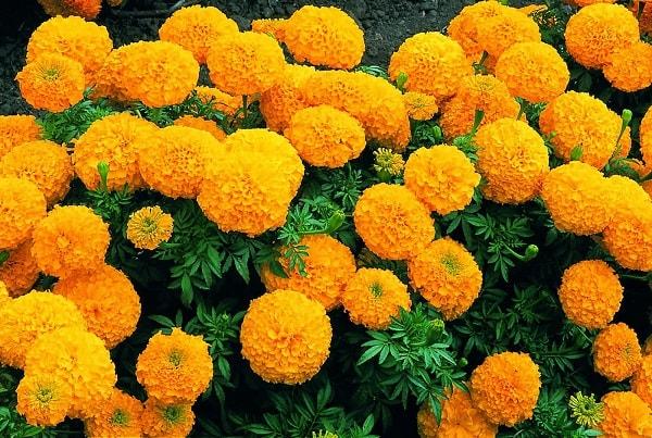 Hoa Cúc mang thông điệp là sự sống muôn năm