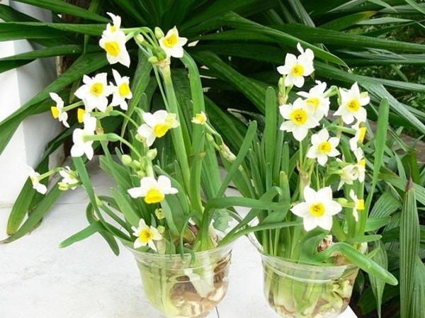 Hoa thủy tiên mang vẻ đẹp thuần khiết, giản dị cùng ý nghĩa yên bình