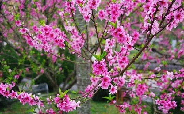 Áp dụng biện pháp phù hợp để hoa nở đúng ngày Tết