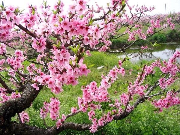 Cách chọn hoa đào đẹp cho ngày Tết
