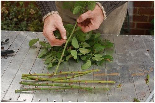 Cách trồng hoa hồng trong chậu đơn giản ai cũng có thể thực hiện