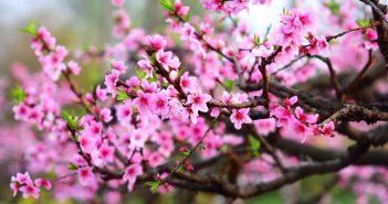 Kinh nghiệm lựa chọn, bày và giữ hoa đào tươi lâu dịp Tết