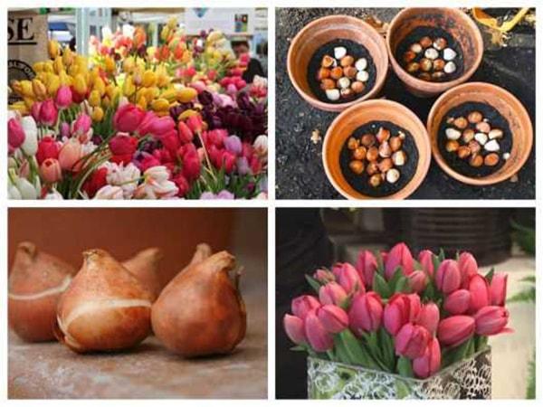 Củ giống hoa tulip