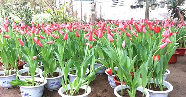 Hoa Tulip được chăm sóc trong chậu