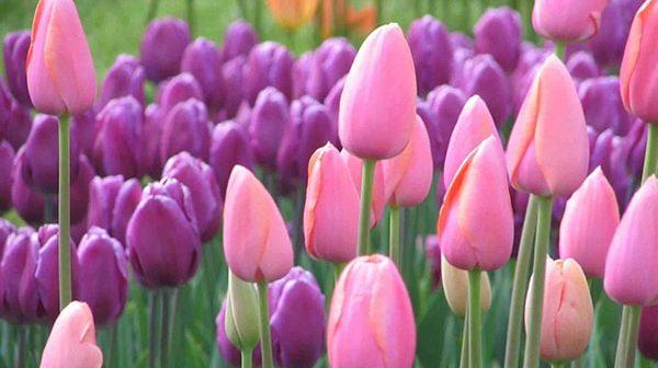 Bí quyết trồng hoa tulip trổ bông cực to và đẹp