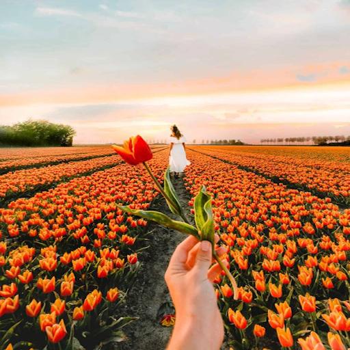 Bí quyết trồng và chăm sóc hoa Tulip trổ bông cực đẹp