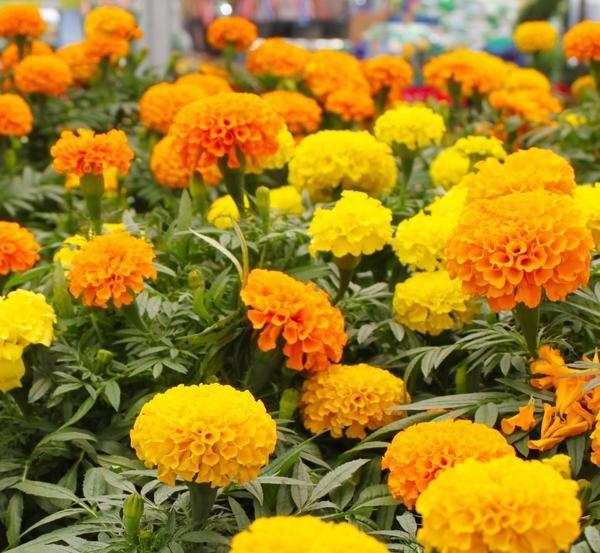 Hoa cúc vạn thọ với nhiều màu sắc