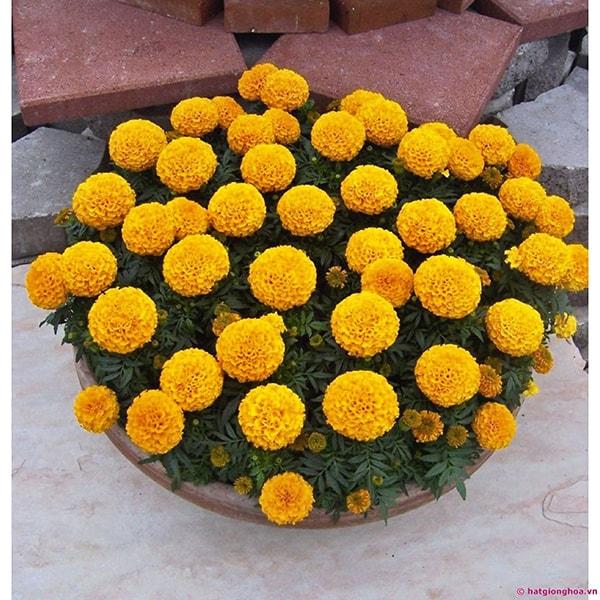 Hoa cúc vạn thọ có thể được trồng trong bầu/chậu