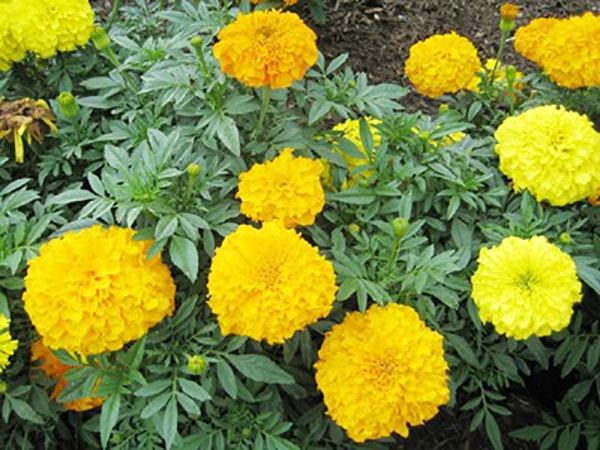 Nên bón phân thường xuyên cho cây hoa cúc vạn thọ