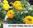 Cách trồng hoa cúc vạn thọ làm tươi mới không gian sống