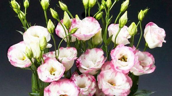 Cách trồng và chăm sóc hoa cát tường mang phú quý cho gia đình