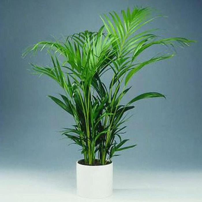 Cây cọ lá tre giúp làm sạch không khí trong nhà