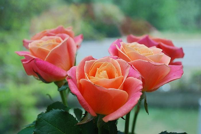 Không nên trồng cây hoa hồng trong phòng ngủ