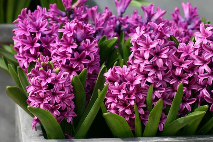 Hoa dạ lan hương cũng không nên trồng trong phòng ngủ sẽ gây khó chịu