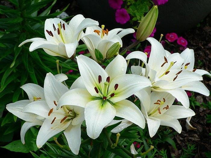 Hoa bách hợp không nên để trong phòng ngủ vì mùi khá khó chịu