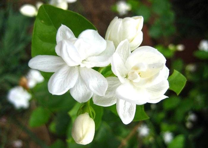 Hoa nhài nên trồng trong phòng ngủ để thanh lọc không khí