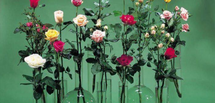 Cách cắm hoa hồng lọ cao để phòng giám đốc đẹp