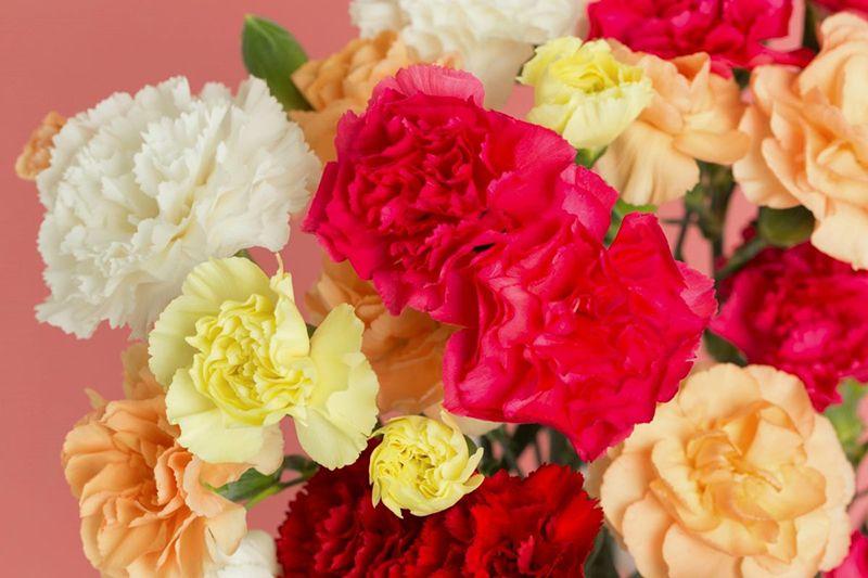 Cách chọn hoa Cẩm chướng tươi lâu