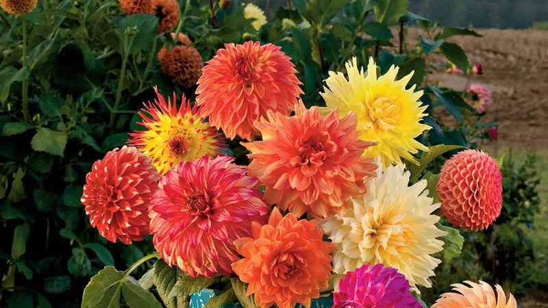 Cách chọn hoa Thược dược tươi lâu