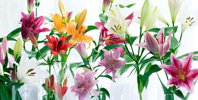 Cách chọn hoa Hoa loa kèn tươi lâu