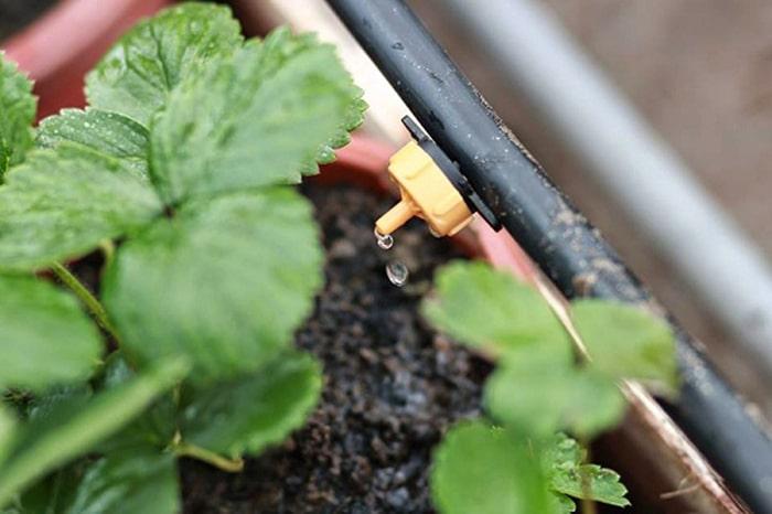 Tưới nước nhỏ giọt khá phổ biến trong sản xuất nông nghiệp hiện nay