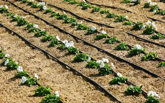 Tưới nước nhỏ giọt mang lại nhiều lợi ích cho người sản xuất