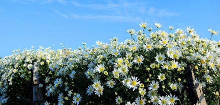 TOP 10 loài hoa nở rộ đẹp nhất vào mùa đông