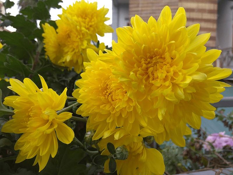 Hoa cúc vàng là loài hoa dùng thờ cúng phổ biến nhất