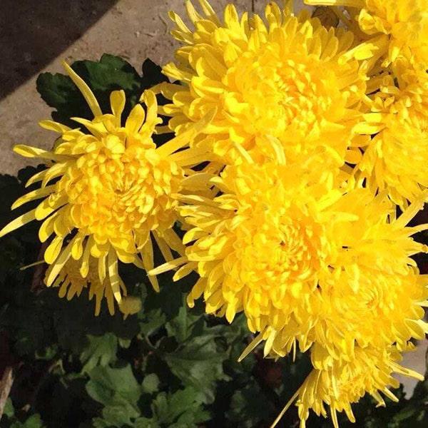 Hoa cúc vàng cúng Thần Tài Ông Địa