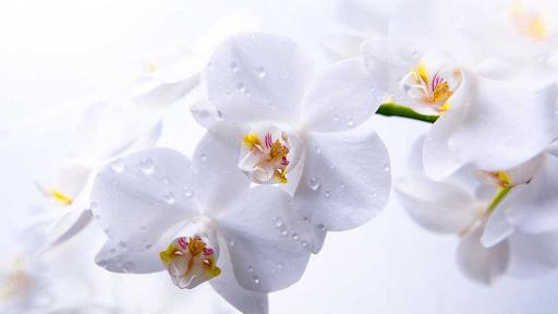 Hoa lan với vẻ đẹp sang trọng