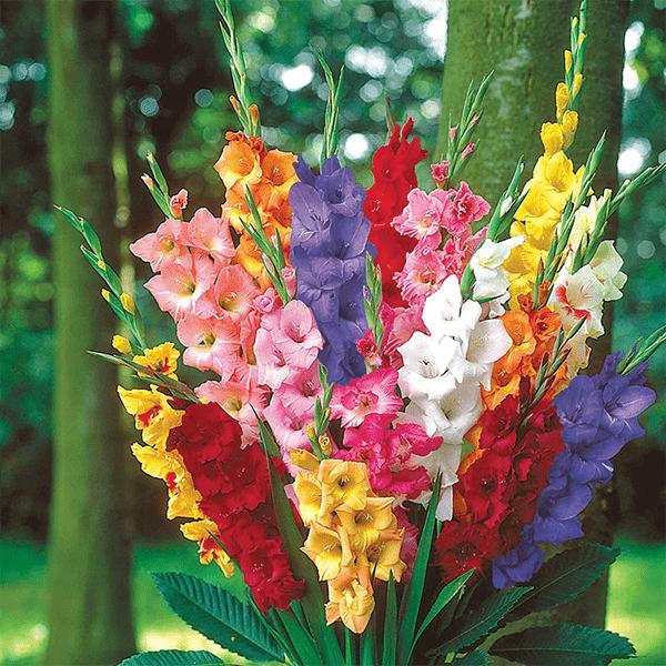 Hoa lay ơn xếp tầng theo màu rực rỡ