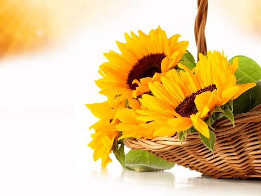 Hoa hướng dương luôn hướng về mặt trời