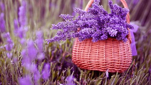 Hoa oải hương tượng trưng cho tình yêu ngọt ngào, thủy chung