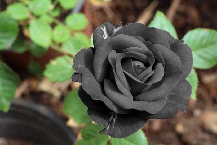 Hoa hồng đen tự nhiên có nguồn gốc từ Thổ Nhĩ Kỳ