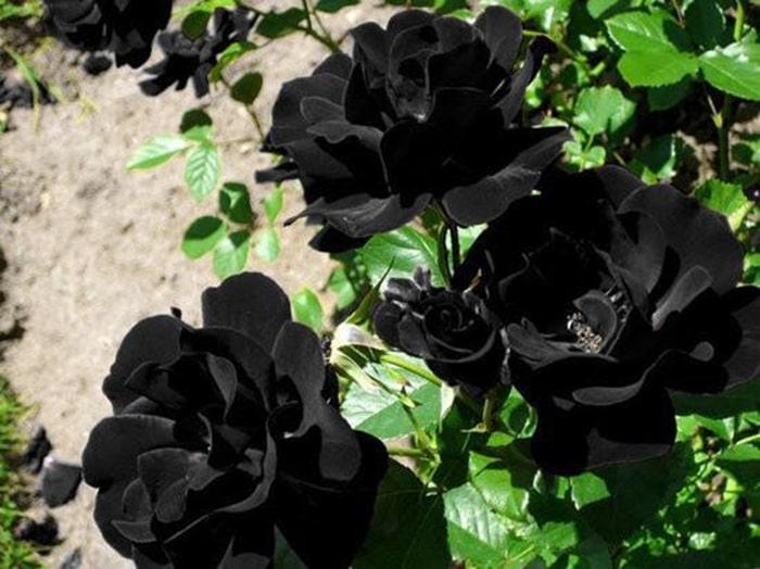 Điều kiện khí hậu và thổ nhưỡng nơi đây là phù hợp nhất cho giống hoa hồng đen sinh trưởng và phát triển
