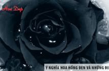 Ý nghĩa hoa hồng đen và những điều thú vị ít ai biết