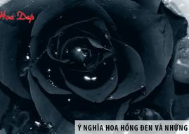 Ý nghĩa của hoa hồng đen và những điều thú vị ít ai biết