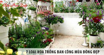 7 loại hoa trồng ban công mùa đông đẹp và dễ chăm sóc