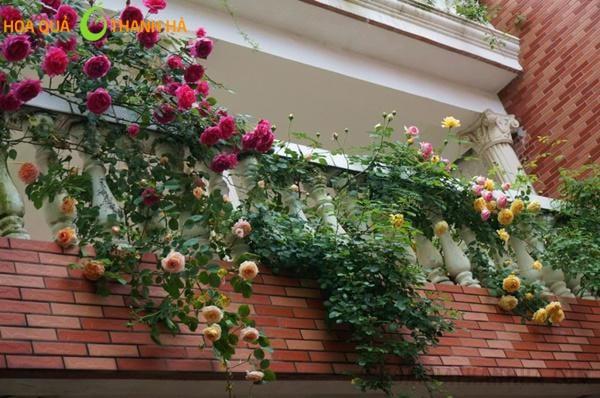 Hoa hồng leo tràn phía ngoài ban công, rủ xuống đẹp mắt