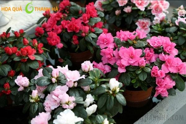Hoa đỗ quyên trồng ban công với nhiều màu sắc khác nhau