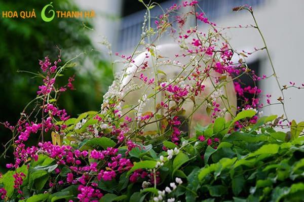 Hoa Tigon nhỏ, mọc nhiều bông một cành